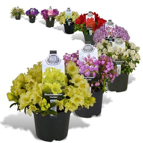 rhododendron kwekerij carry pot kortenhorst. Black Bedroom Furniture Sets. Home Design Ideas